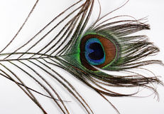 Feathers of a Peacock. Closeup of  feather of a peacock with blue and green combination Royalty Free Stock Photo