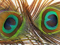 Feathers of peacock. Or peafowl of Asiav, india, shrilankav stock image