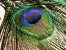 Feathers of peacock. Or peafowl found in Asian countries of India shrilanka and Bangaldesh mainly royalty free stock photography