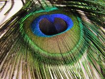 Feathers of peacock. Or peafowl found in Asian countries of India shrilanka and Bangaldesh mainly royalty free stock images