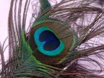Feathers of Peacock. Or Indian Peafowl Royalty Free Stock Photography
