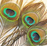 Feathers of peacock. Or peafowl of Asiav, india, shrilankav stock photo