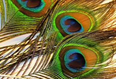 Feathers of peacock. Or peafowl of Asiav, india, shrilankav royalty free stock images