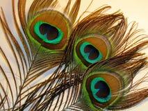 Feathers of peacock. Or peafowl of Asiav, india, shrilankav stock photos