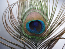 Feathers of Peacock or Peafowl. Closeup of feather of a Peacock or Indian Peafowl or also called Blue peafowl Stock Photography