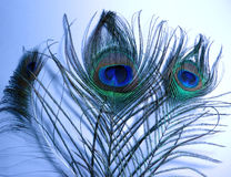 Feathers of Peacock or Peafowl. Closeup of feather of a Peacock or Indian Peafowl or also called Blue peafowl Royalty Free Stock Photos