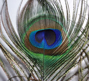 Feathers of Peacock or Peafowl. Closeup of feather of a Peacock or Indian Peafowl or also called Blue peafowl Stock Photos