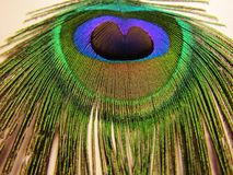 Feathers of peacock. Or peafowl found in Asian countries of India shrilanka and Bangaldesh mainly stock photos