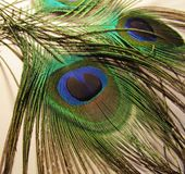 Feathers of peacock. Or peafowl found in Asian countries of India shrilanka and Bangaldesh mainly stock image