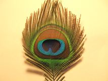 Feathers of peacock. Or peafowl found in Asian countries of India shrilanka and Bangaldesh mainly royalty free stock image