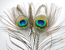 Feathers of Peacock or Peahen. Feathers of peacock also called as peahen or Blue peahen and Indian peafowl Royalty Free Stock Images