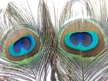 Feathers of Peacock or Peahen. Feathers of peacock also called as peahen or Blue peahen and Indian peafowl Stock Photo
