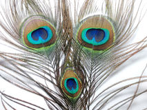 Feathers of Peacock or Peahen. Feathers of peacock also called as peahen or Blue peahen and Indian peafowl Stock Image