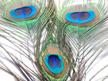 Feathers of Peacock or Peahen. Feathers of peacock also called as peahen or Blue peahen and Indian peafowl Royalty Free Stock Image