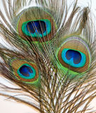 Feathers of Peacock or Peahen Royalty Free Stock Photography
