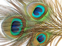 Feathers of Peacock or Peahen Royalty Free Stock Images