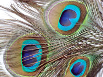 Feathers of Peacock or Peahen. Feathers of peacock also called as peahen or Blue peahen and Indian peafowl Stock Photos