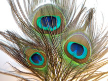 Feathers of Peacock or Peahen Stock Images