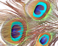 Feathers of Peacock or Peahen. Feathers of peacock also called as peahen or Blue peahen and Indian peafowl Stock Images