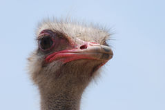 Feathers Standing Around the Head of an Ostrich Stock Photography