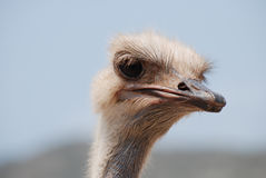 Feathers Standing Up on the Head of an Ostrich Stock Images