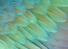 Feathers texture. Background. Bright feathers of the parrot wing, closeup. Colored vivid plumage of exotic bird Royalty Free Stock Image