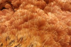 Feathers texture Stock Photography