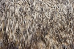 Feathers texture of a ostrich Stock Photography