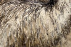 Feathers texture of a ostrich Royalty Free Stock Image