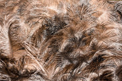 Feathers of turkey Stock Images