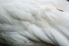 Feathers. White feathers of swan in horizontal orientation Stock Images