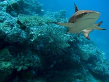 Feathershark. Blacktip Reef Shark (Carcharhinus melanopterus) swimming over tropical coral reef royalty free stock photography