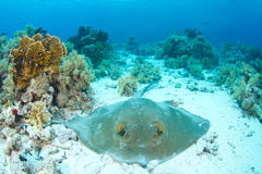 Feathertail stingray. Lying in coral reef in the red sea stock photo