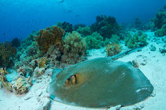 Feathertail stingray. Lying in coral reef in the red sea royalty free stock images