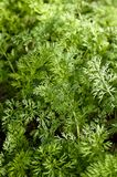 Feathery carrot tops in the garden. stock photo