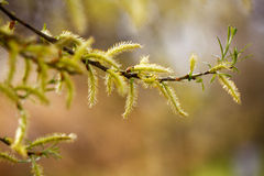 Feathery catkins on a branch Stock Photos
