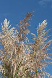 Feathery grass. Feathery ornamental grass against a blue sky Royalty Free Stock Image