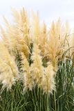 Feathery grass background outdoor. Nature gardening Royalty Free Stock Photography