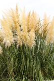 Feathery grass background outdoor. Nature gardening Stock Images