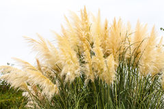 Feathery grass background outdoor. Nature gardening Royalty Free Stock Photo
