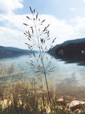 Feathery inflorescence of a flowering wild grass. Silhouetted against a tranquil lake and mountains with focus to the plant royalty free stock images