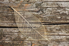 Feathery leaf. Intricate structure of a fallen leaf Stock Images