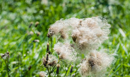 Feathery pappus and overblown flowers of Creeping. Closeup of feathery pappus and overblown flowers of Creeping Thistle or Cirsium arvense plants in their Royalty Free Stock Photos