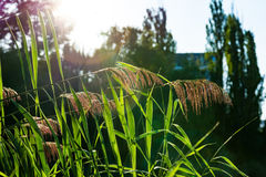Feathery Plant Sunset Solar Flare Warm Outdoors Park. Feathery Plant Sunset Solar Flare Warm Outdoors Stock Photography