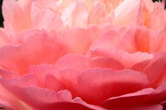 Feathery rose petals Royalty Free Stock Photos