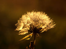 Feathery seed head of the Creeping Thistle. In the sun light Royalty Free Stock Photography