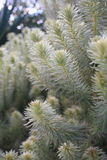 Feathery soft Flannel Bush Phylica plumosa Stock Image