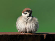 Feathery sparrow Stock Image