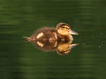 Feathery sweet duckling Royalty Free Stock Photo