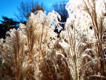 Feathery tops of ornamental pampas grass ablaze glowing in direct sunlight. Miniature effect blurred background closeup of tall prairie grass tops backlit by sun Royalty Free Stock Images